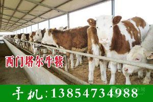 西门塔尔牛养殖场