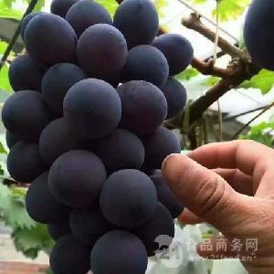 新品种早熟葡萄什么品种好 山东葡萄苗批发