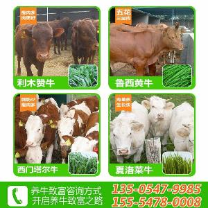 3-4个月的鲁西黄牛牛犊价格