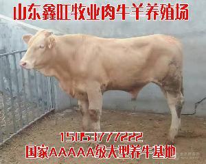 肉牛价格报价小公牛多少钱一头