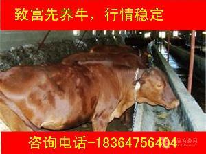 青海出售的小公牛好养吗厂家直销