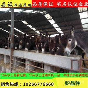 广州小驴苗价格