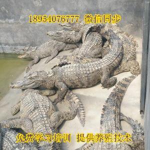 2018鳄鱼养殖利润和成本