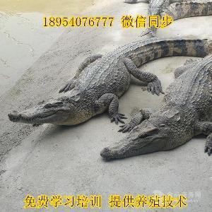 鳄鱼苗价格