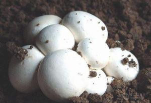 临汾双孢菇供应厂家 山西双孢菇生产基地