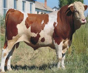 活黄牛多少钱一斤 .