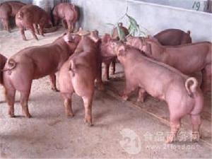 仔豬-今日仔豬價格 外三元小豬苗價格