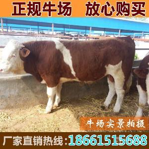 小公牛养殖成本