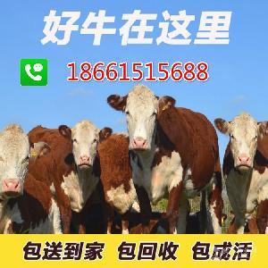 黄白花小公牛价格