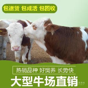 改良西蒙达尔种牛小牛价格