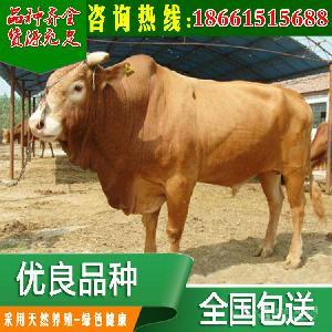 新疆西门塔尔母牛价格