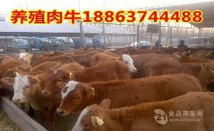新疆沙湾县养牛基地