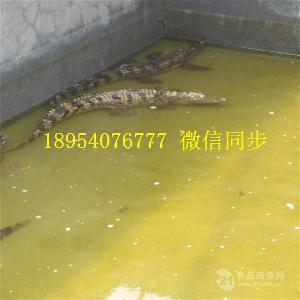 贵州省鳄鱼腿多少钱