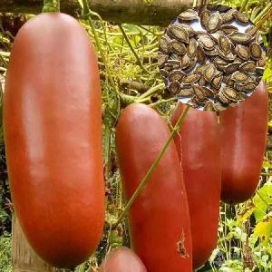 香茹蜜 火腿瓜种子 南美香味扑鼻汁如蜜糖香瓜种子 蔬菜种子