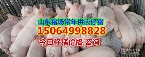 山东仔猪望再涨价养猪场仔猪价格仔猪格
