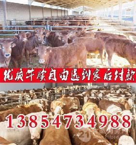 山东小牛犊的价钱