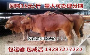 肉牛犊的价格