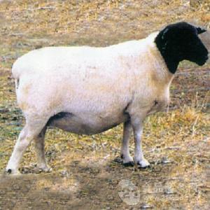 大量纯种育肥杜泊羊出售
