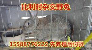 杂交野兔多少钱一对