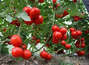 珠海新宏鸿农产品生鲜水产食堂干货配送服务--西红柿