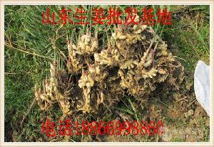 山东生姜种植基地    今年鲜姜、老姜、面姜、小黄姜格