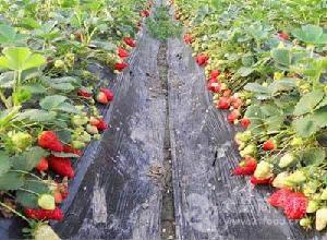 尚志市石头河子镇三莓基地草莓苗树莓苗黑加仑苗