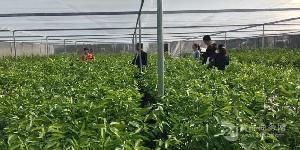 常德沃柑苗出售 常德沃柑苗价格 常德供应大量沃柑苗