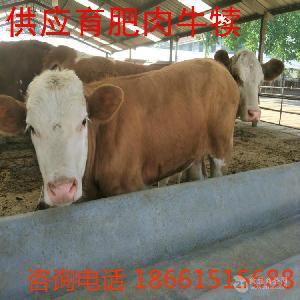 鲁西黄牛种牛价格哪里便宜