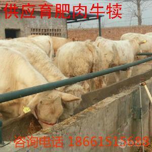 夏洛莱牛小牛犊价格