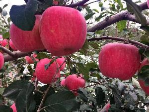 商品红富士苹果