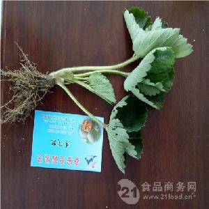 章姬草莓苗品種介紹章姬草莓苗賣