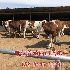 西门塔尔肉牛犊价格