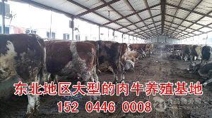小公牛犊 价格
