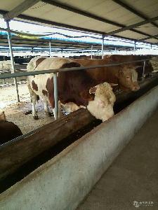 鲁西黄牛肉牛犊多少钱一头$$西门达尔牛价格