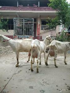 关中奶山羊养殖  关中奶山羊吧