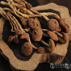 茶樹菇批發 產地直銷