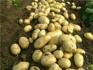 今年的山東省荷蘭土豆產地批發價格是多少