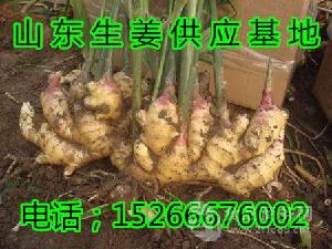 山东生姜价格多少钱一斤