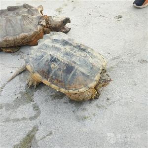 江苏无锡市鳄鱼腿肉多少钱一斤