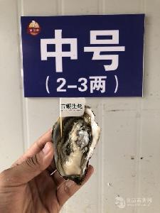 山东乳山生蚝批发 鲜活牡蛎生蚝 三倍体牡蛎2-3两/只