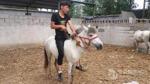 江西小矮马多少钱一匹