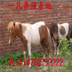 山东养马出售国产矮马2000元