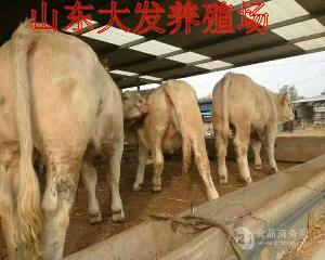 黄牛肉牛价格