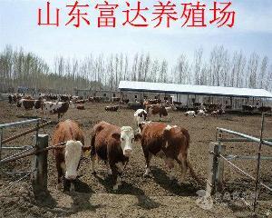 小公牛犊价格