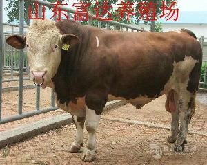 成都夏洛莱牛小牛
