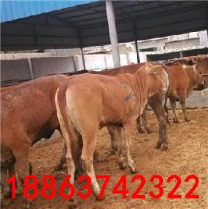 河北西门塔尔牛种牛价格