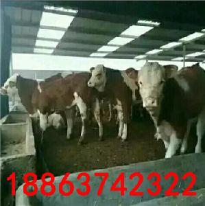 大型肉牛养殖基地长年出售鲁西黄牛犊价格