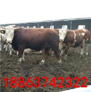 今日肉牛价格