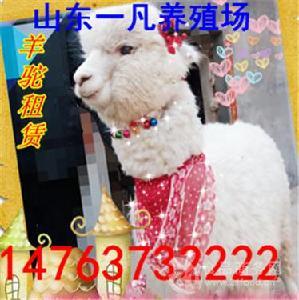 石家庄哪里能买到内羊驼多少钱一只