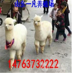 家庭饲养宠物羊驼多少钱